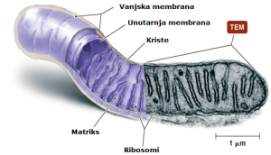 Mitohndrij